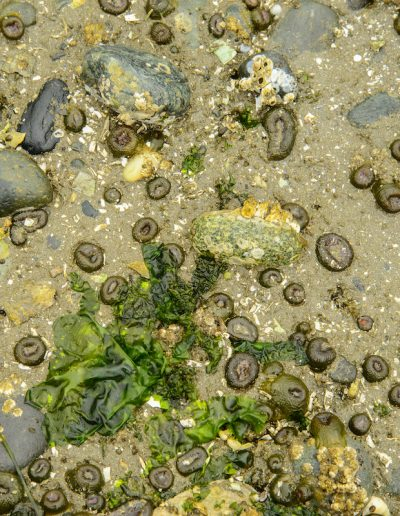 A collection of aggregating anemones