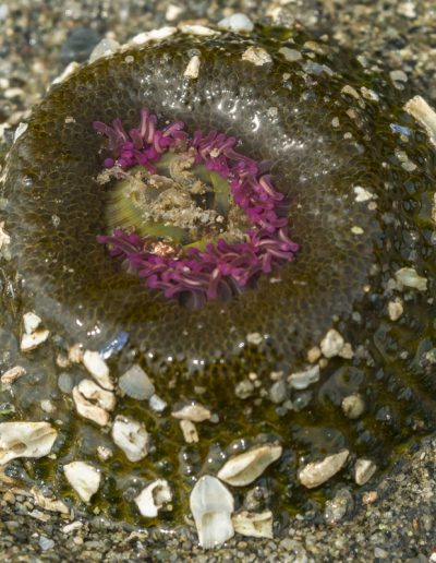 Aggregating anemone with bits of shell