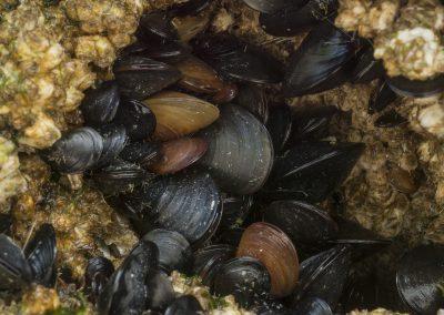 Mussels on boulder
