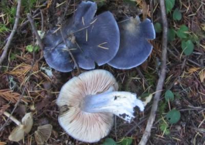 Russula occidentalis