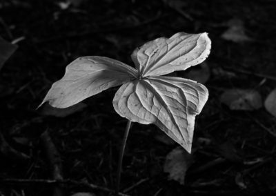 A Trillium stands proud in the light.  Black and white photography highlights form, texture, light, and shadows.