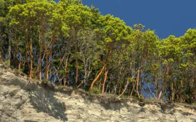 The Pacific Madrone